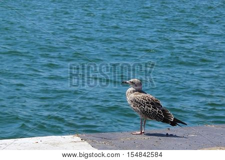 Great Black-backed Gull - Larus marinus. The coastline and the sea.
