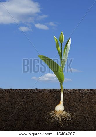 Cut Away of a Tulipa Gesneriana or Tulip and Root System with a Blue Sky