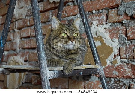 the gray striped cat considers the plan of repair, sitting on a step-ladder