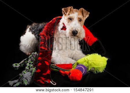 Wire fox terrier with his chewed up toys.