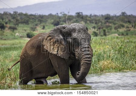 This Old Elephant Bull in Akagera National Park is known to be a fan of caffein. Kicked out from his herd the kids of a village at Lake Akagera take care of him. Coca Cola most obviously makes his day (see the waterline)...