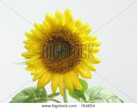 Sun Flower Isolated