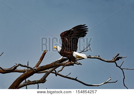 A Bald Eagle prepares to take off from it's perch. These large raptors can be found along waterways where they fish.