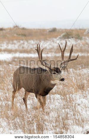 a big mule deer buck in a snow covered field
