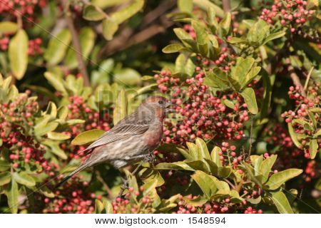 House Finch Eating Berries