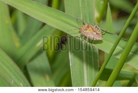Closeup of a brown stinkbug crawling on a green leaf