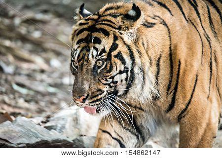 a sumatran tiger closeup at the zoo