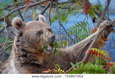 Brown bear (Ursus arctos) is eating leaves of a tree