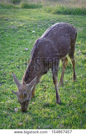 Spotted deer (Cervus nippon) is eating grass in a meadow