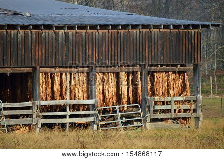 Tobacco leaves hanging out to dry in the sunrise.