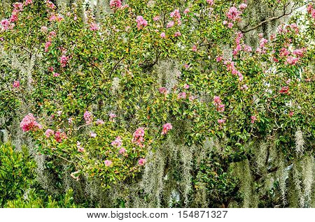 azalea bushes covered in a spanish moss