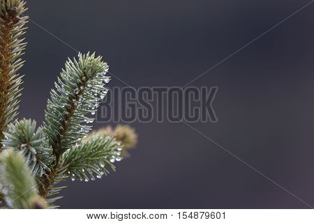 Rain drops on pine needles background with gray copy space on horizontal photograph. Location is Juneau, Alaska.