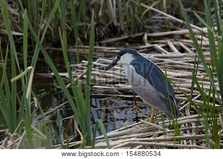 Solitary black crowned night heron stands on marsh reeds in Farmington Bay Waterfowl Management Area part of Great Salt Lake Western Hemisphere Shorebird Reserve Utah. Bird is alert with red eye and field identification marks visible in horizontal photogr