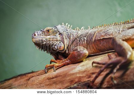 Closeup portrait of green American common iguana on a tree in zoo arboreal species of lizard reptilia