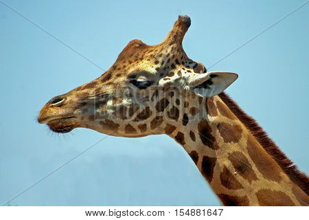 The head and neck of a giraffe