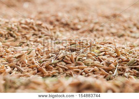 Closeup paddy jasmine rice, jasmine rice from Thailand