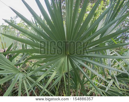 Fan Palm Blades in a garden at Bok Tower in Lake Wales, Florida