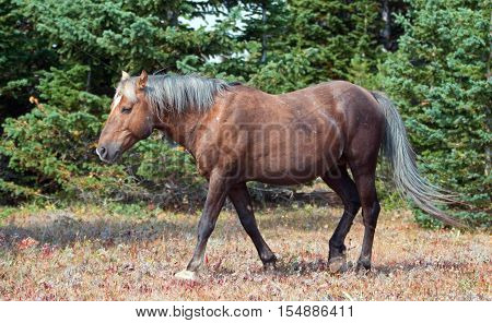 Wild Horse - Sooty colored Palomino Stallion in the Pryor Mountain Wild Horse range in Montana US of A