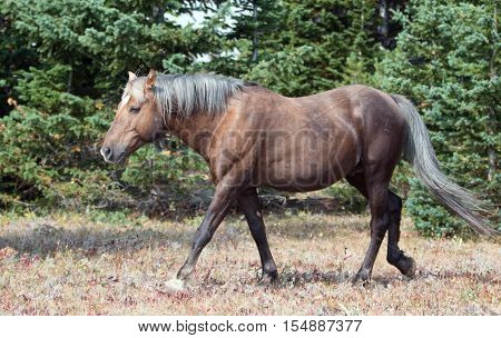 Wild Horse - Sooty colored Palomino Stallion in the Pryor Mountain Wild Horse range in Montana USA