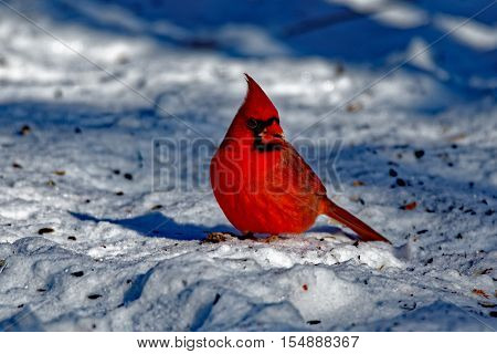 A male Northern Cardinal sits in the snow. These vibrant birds contrast sharply with the white snow.
