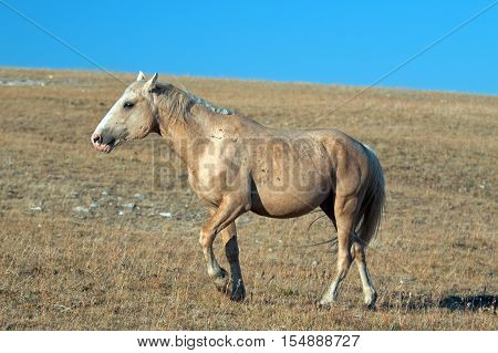 Palomino colored Wild Horse Band Stallion walking up Sykes Ridge in the Pryor Mountain Wild Horse range in Montana USA