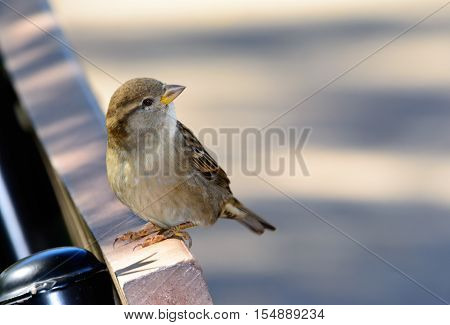House Sparrow (Passer domesticus ) on a park bench. Closeup Blurred background with copy space.