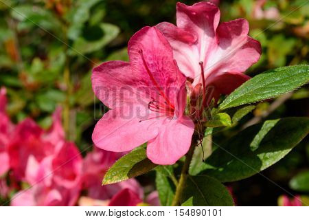 Pink Autumn Azaleas against green leaf background