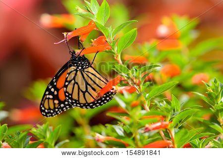 Monarch (danaus Plexippus) On Bright Orange Flowers