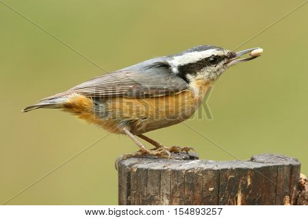 Red-breasted Nuthatch (sitta canadensis) on a perch with a nut and a green background