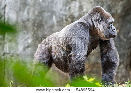 Silver back gorilla looking alert and menacing against a natural background