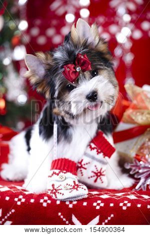 Biewer york terrier and Christmas decorations,