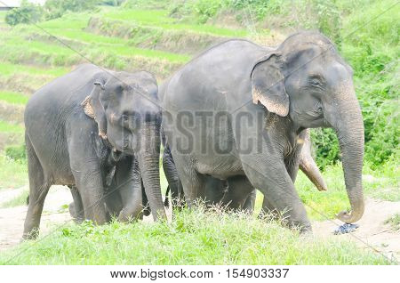 elephant herd or  young elephants ,Asian elephant