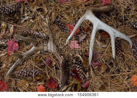 Shed Whitetail Deer Antlers in Pine Needles - Southeastern Minnesota - USA