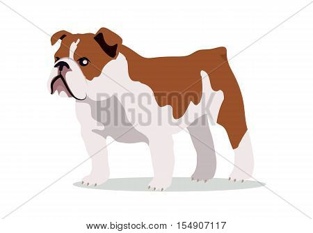 English bulldog breed flat design vector. Purebred pet. Domestic friend and companion animal illustration. For pet shop ad, animalistic hobby concept, breeding illustration. Cute canine portrait.