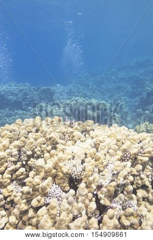 Coral reef with great porites coral at the bottom of tropical sea underwater