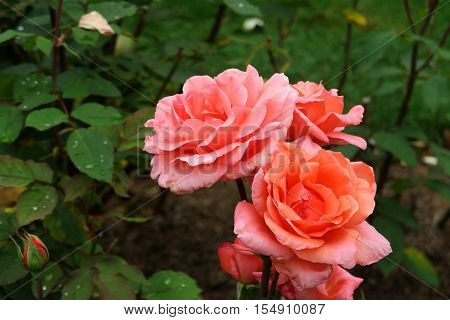 Close up view of beautiful orange and Pink roses