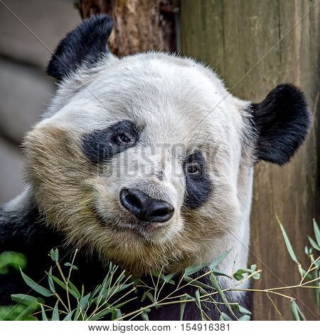 a giant panda eating a green bamboo