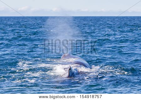 Blowout Of A Large Sperm Whale Near Iceland