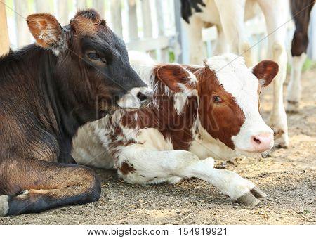 Calfs on farm