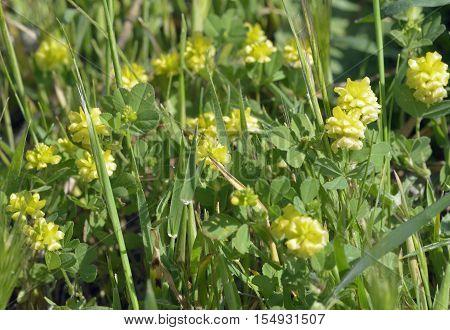 Hop Trefoil - Trifolium campestre Small Calcareous Grasslans Flower