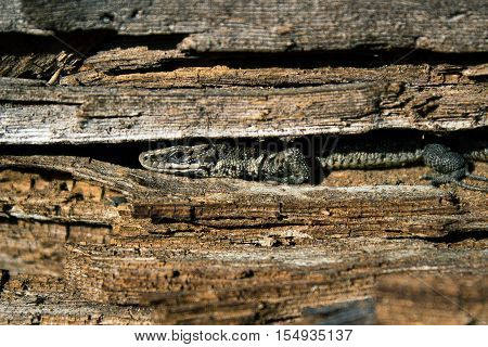 Lizard close-up in the Disguise the environment. A small reptile with a long body and a long tail covered with small horny scales.
