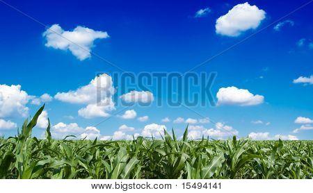 The cornfield, blue sky, clouds.