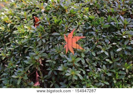 a red maple leaf fall on green plant