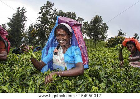 NUWARA ELIYA SRI LANKA - AUG 14 2005: harvest in the tea fields female tea picker in the highlands is picking tea in Nuwarea Eliya Sri Lanka