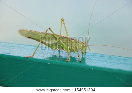 Green Locust or big grasshopper from side