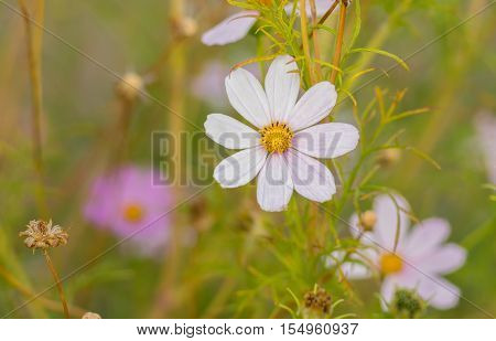 Delicate cosmos flowers at autumnal garden .
