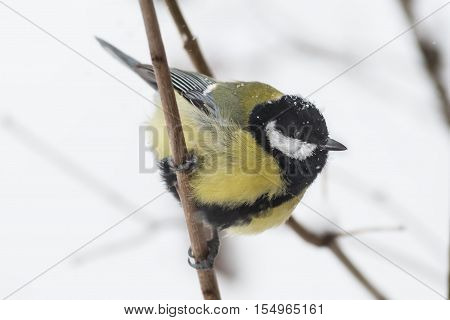 Greater titmouse Parus majorsitting on a branch