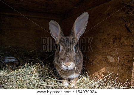 Big brown rabbit in the shed with small bunnies