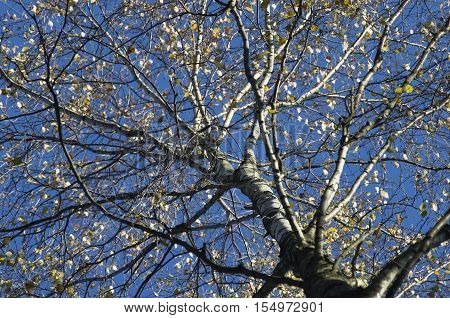 Birch krone with rare leaves against the background of the blue sky late fall.