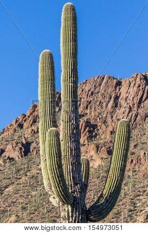 a saguaro cactus stands tall in the Arizona desert